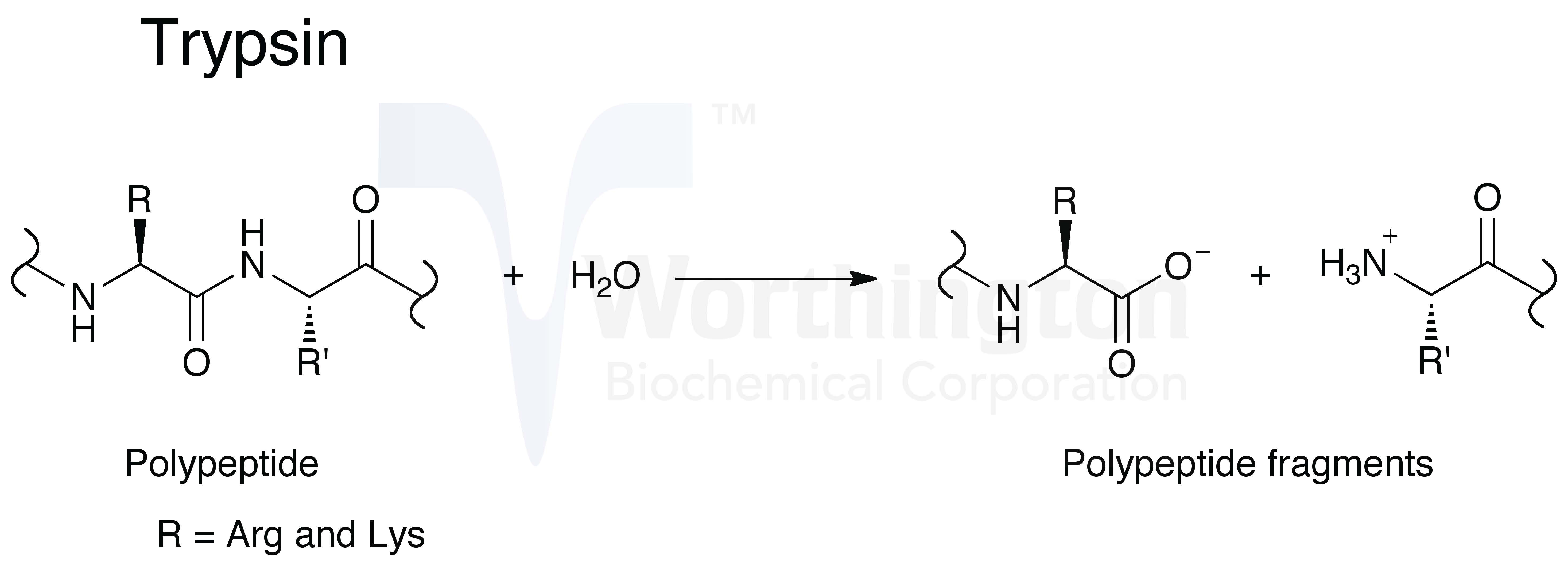 Enzymatic reaction image will open in a new window
